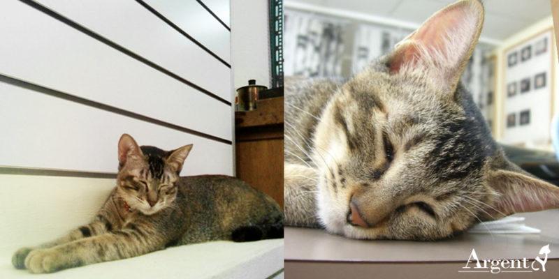 寵物紀念項鍊留下專屬身影,安爵店貓示範完美代言人1-咪咪